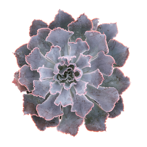 Echeveria 'Neon Breakers' Succulents