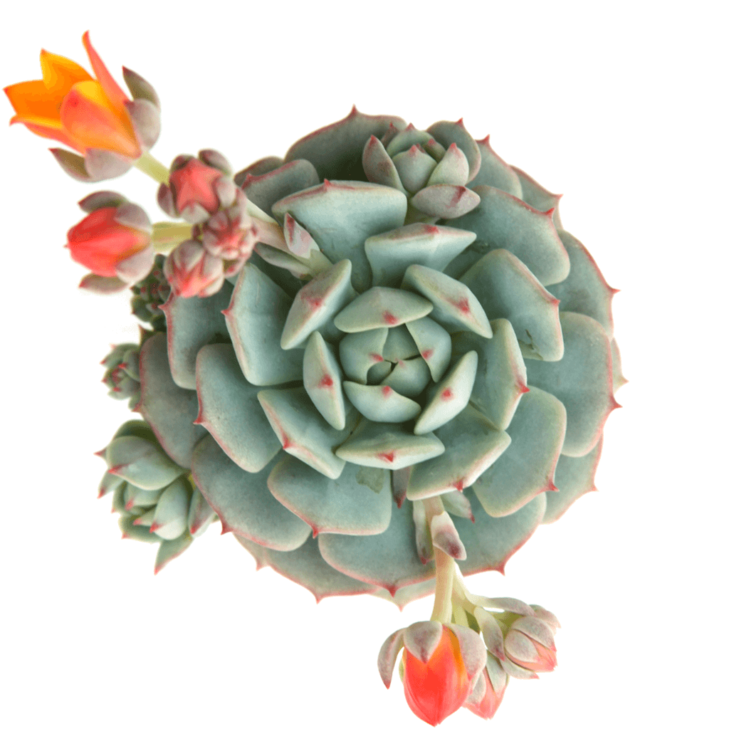 Echeveria Painted Lady Leaf Amp Clay