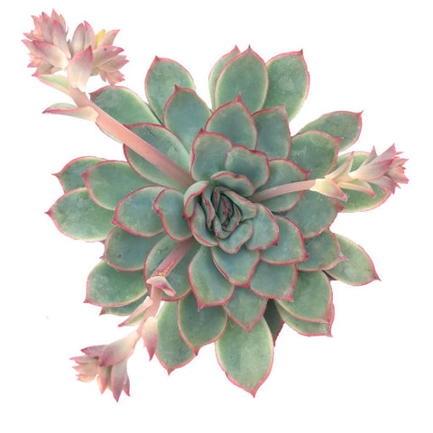 Echeveria 'Esther'
