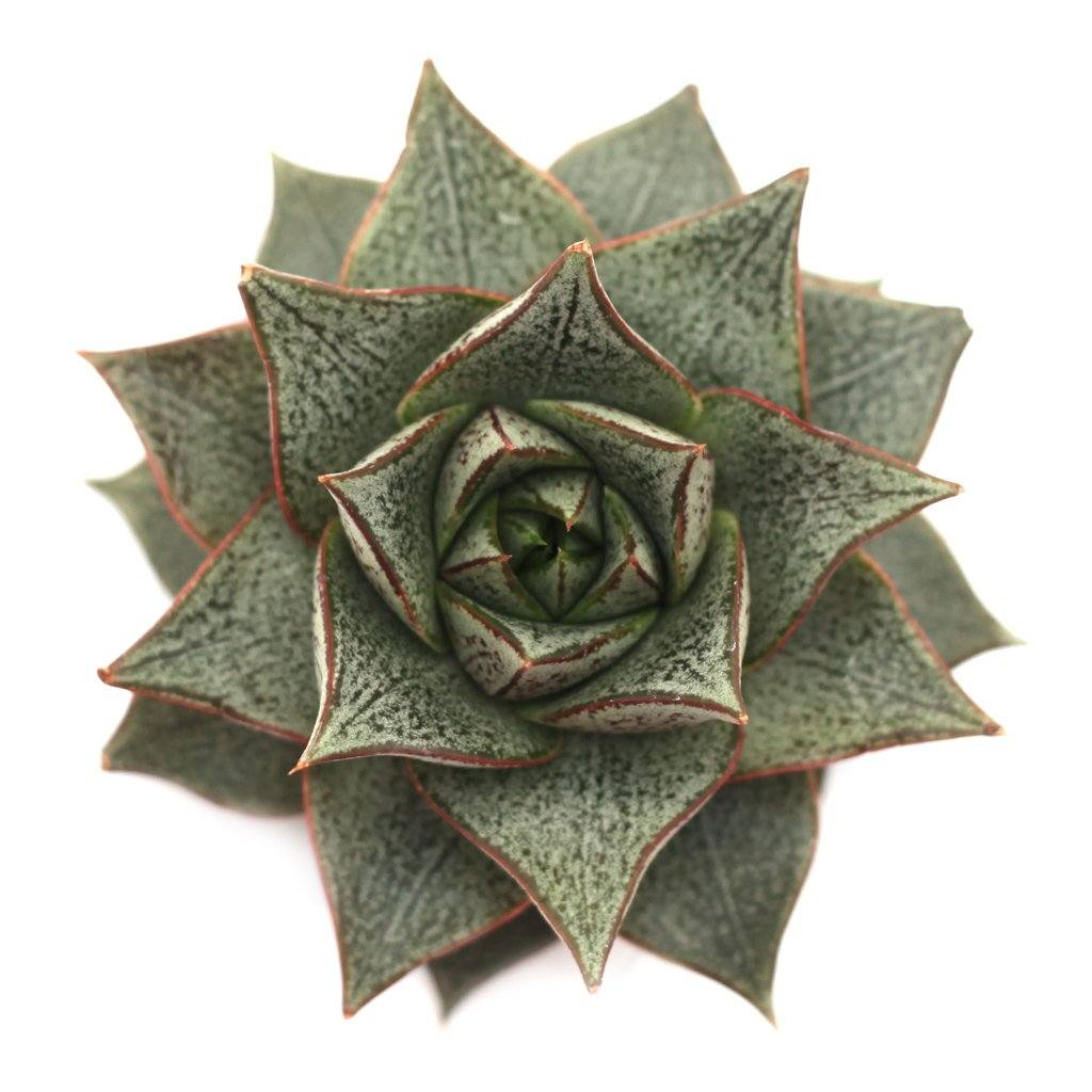 Echeveria purpusorum