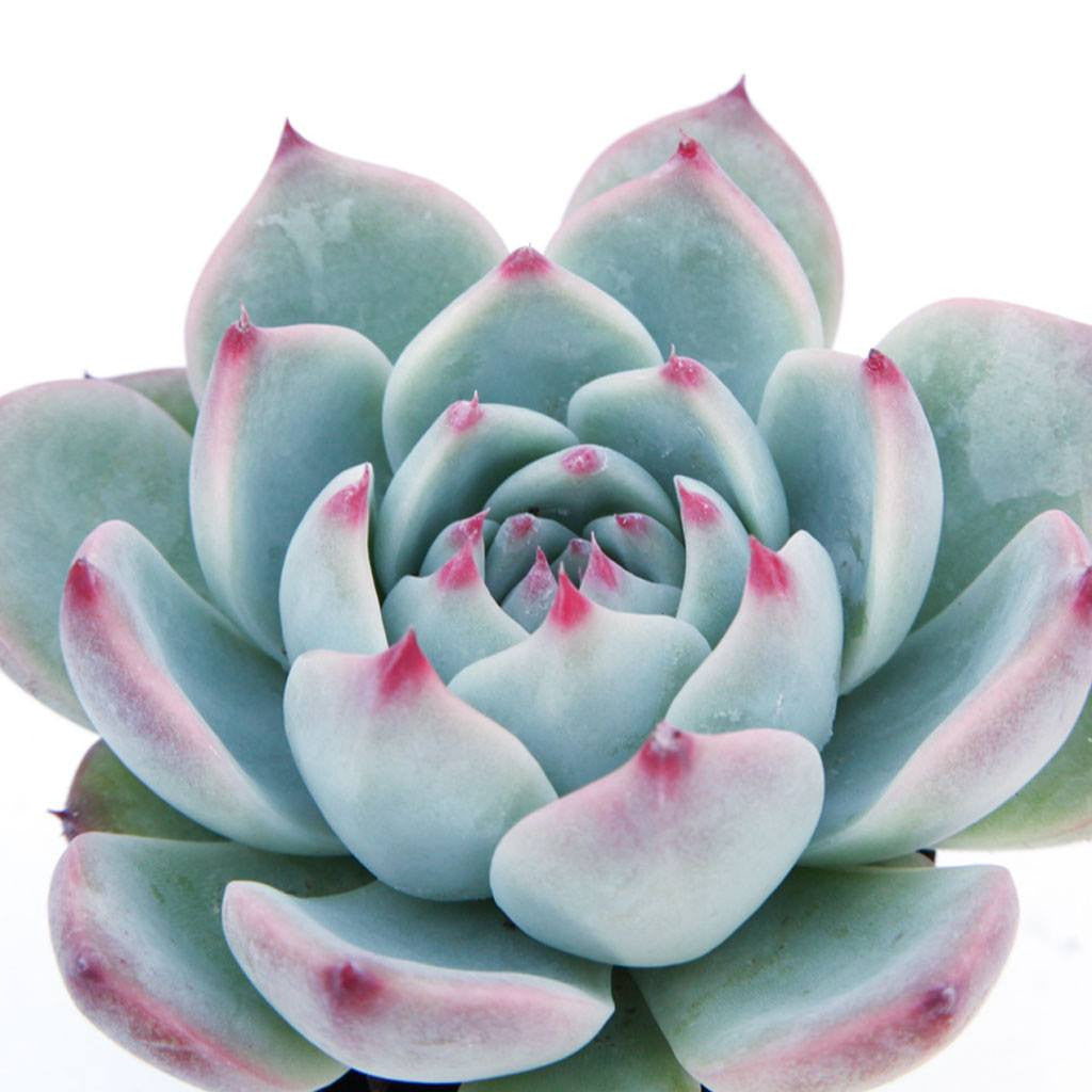 Echeveria 'Tippy' Succulents