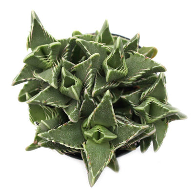 Faucaria 'Tiger Jaws'