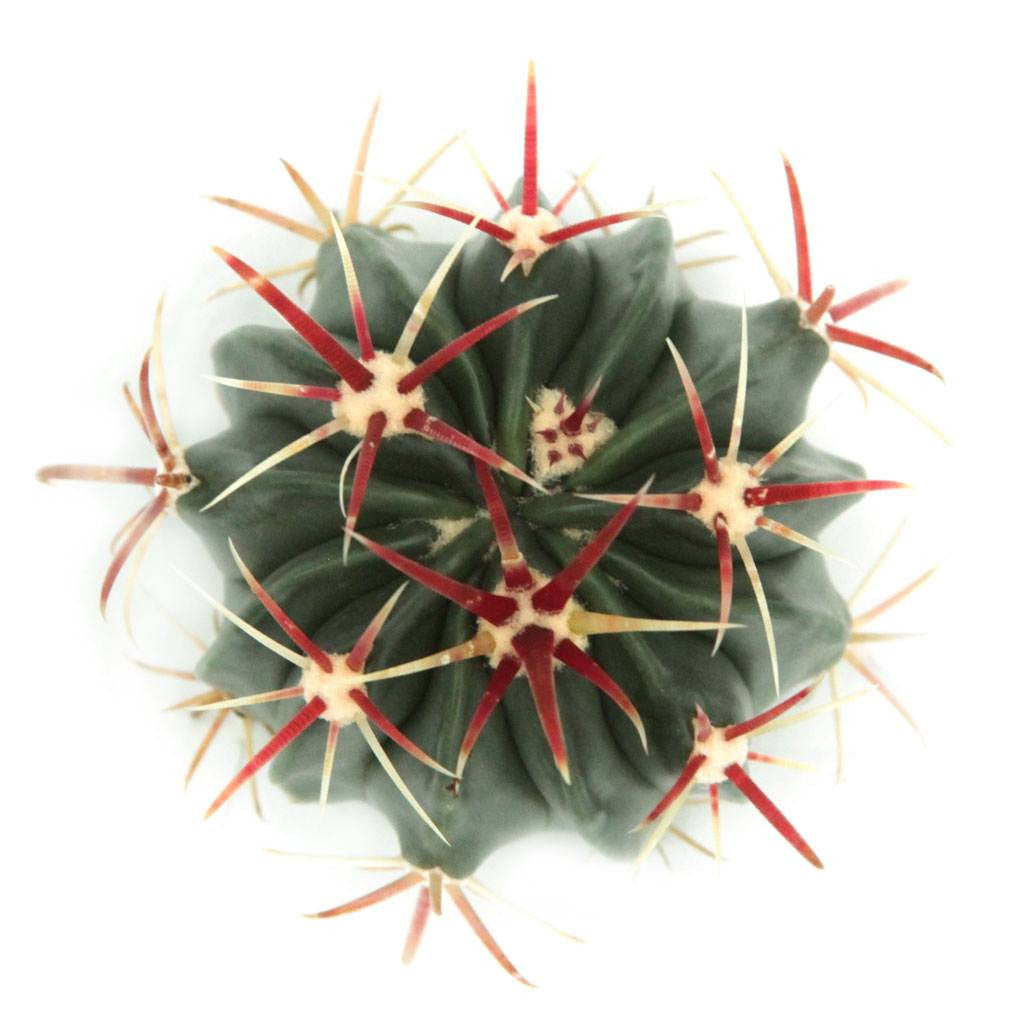 Ferocactus 'Devil's Tongue Barrel'