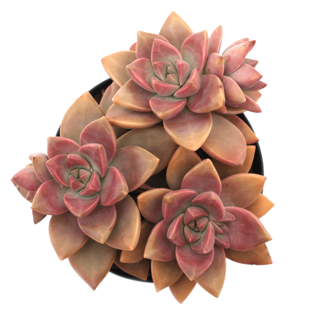 Graptosedum 'California Sunset'