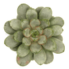 Graptoveria amethorum