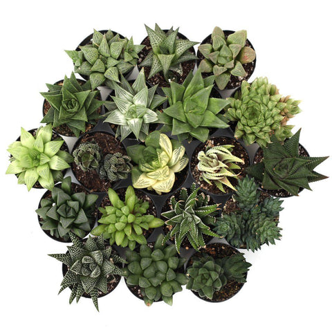 'Holy Haworthia!™' Pack