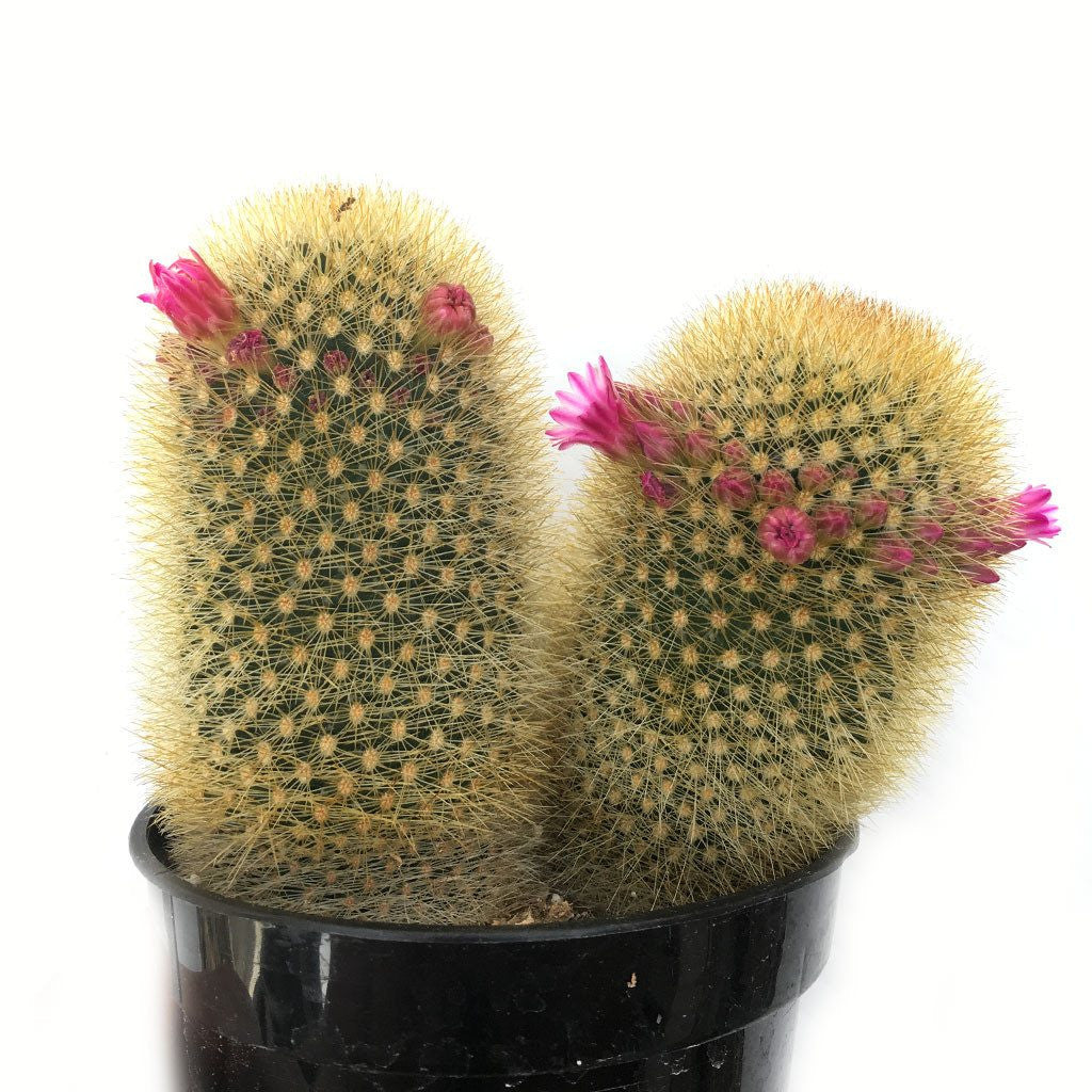Mammillaria 'Bristle Brush'