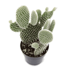 Opuntia 'Angel Wing'