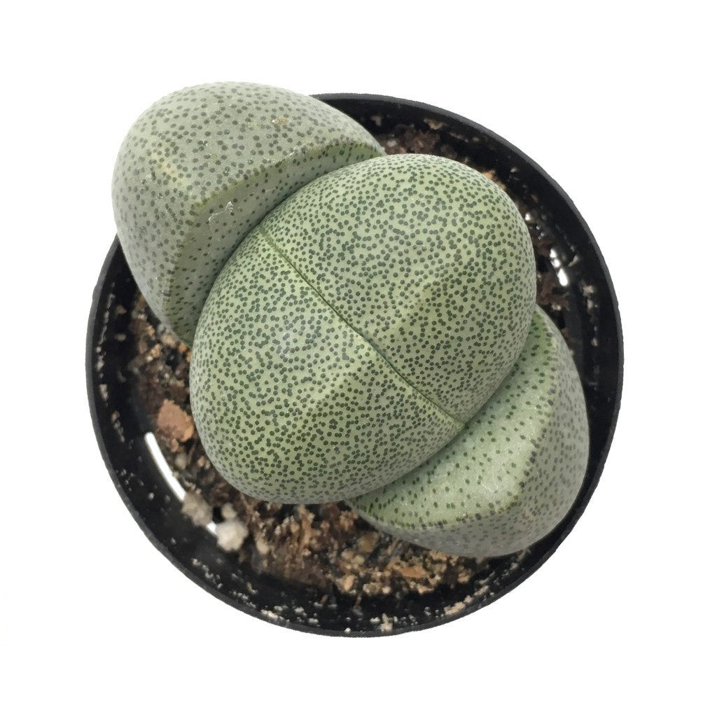 Pleiospilos 'Split Rock'