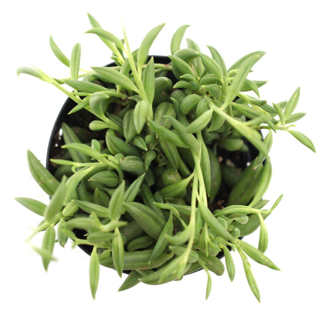 "Picture of Live String of Bananas aka Senecio radicans Plant Fit 4"" Pot"