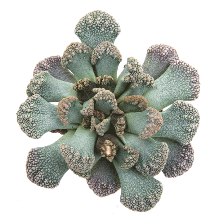 Succulents Tagged Quot Mimicry Quot Leaf Amp Clay