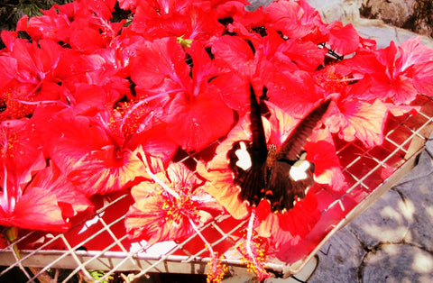 Orange butterfly feeding at The Butterfly Park - FairTrade Travels during Ramadan with Sabeena Ahmed