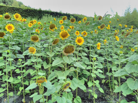 The Eden Project Tour with Dan Ryan, Sunflowers - BESP Academy visited August 2018