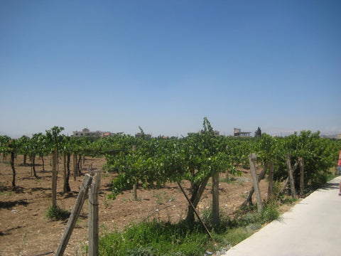 Vineyards in Fourzol - The Little Fair Trade shop