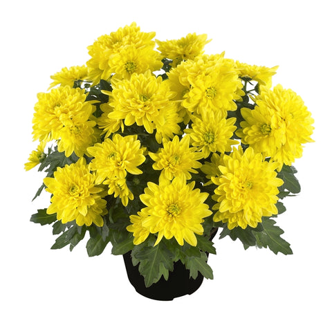 A pot of hardy garden mums sits in front of a white background.