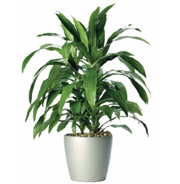 A large, potted dracaena deremensis, The Janet Craig Dragon Tree with rich green leaves standing almost 3 feet tall.