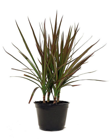 The Red Edged Dracaena, a tall palm-like plant sits in a black pot.