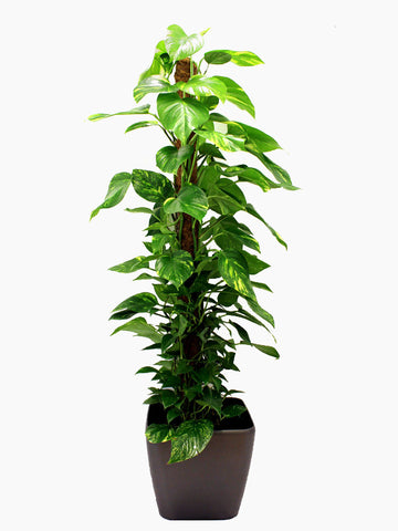 A tall devil's ivy pothos in a grey pot. The ivy has a wooden post to grow up and wrap around.