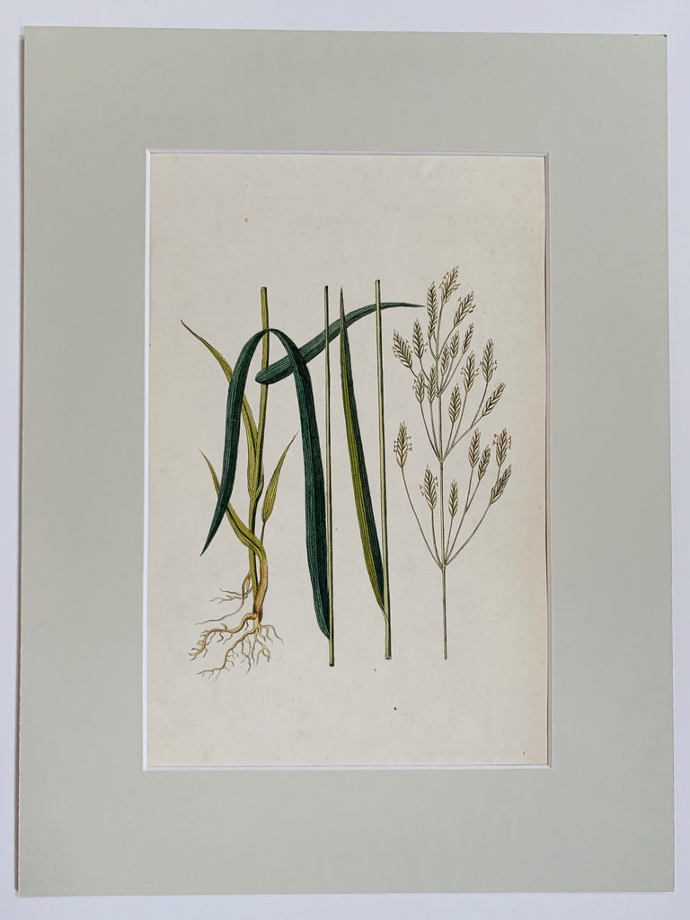 Upright Brome Botanical Study - L'Atelier Natalia Willmott