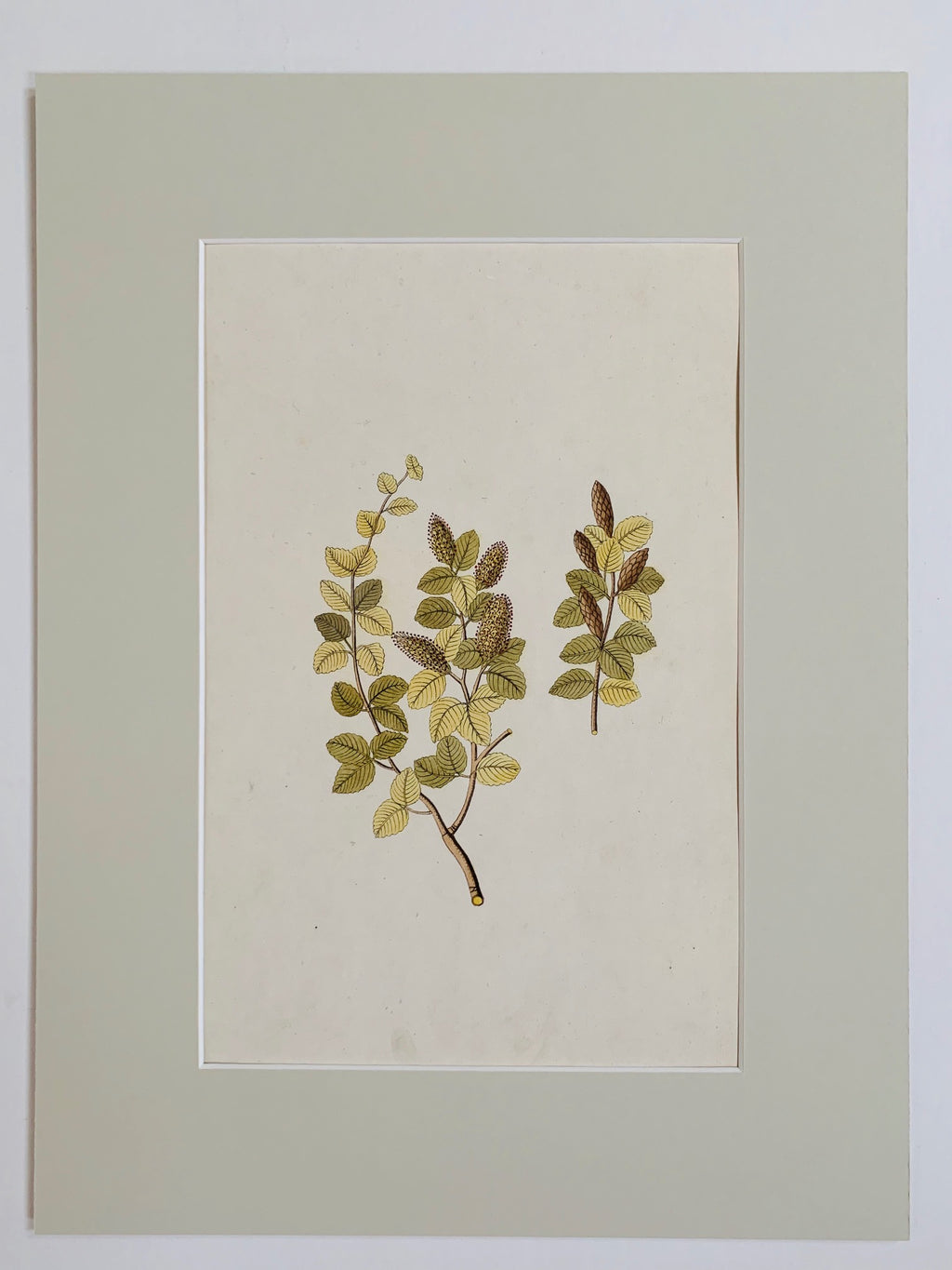 Birch tree botanical study - L'Atelier Natalia Willmott