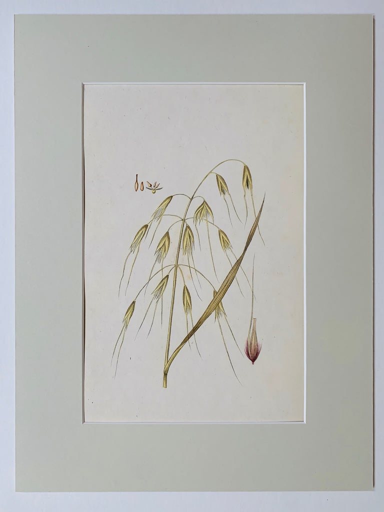 Golden oat grass botanical study - L'Atelier Natalia Willmott