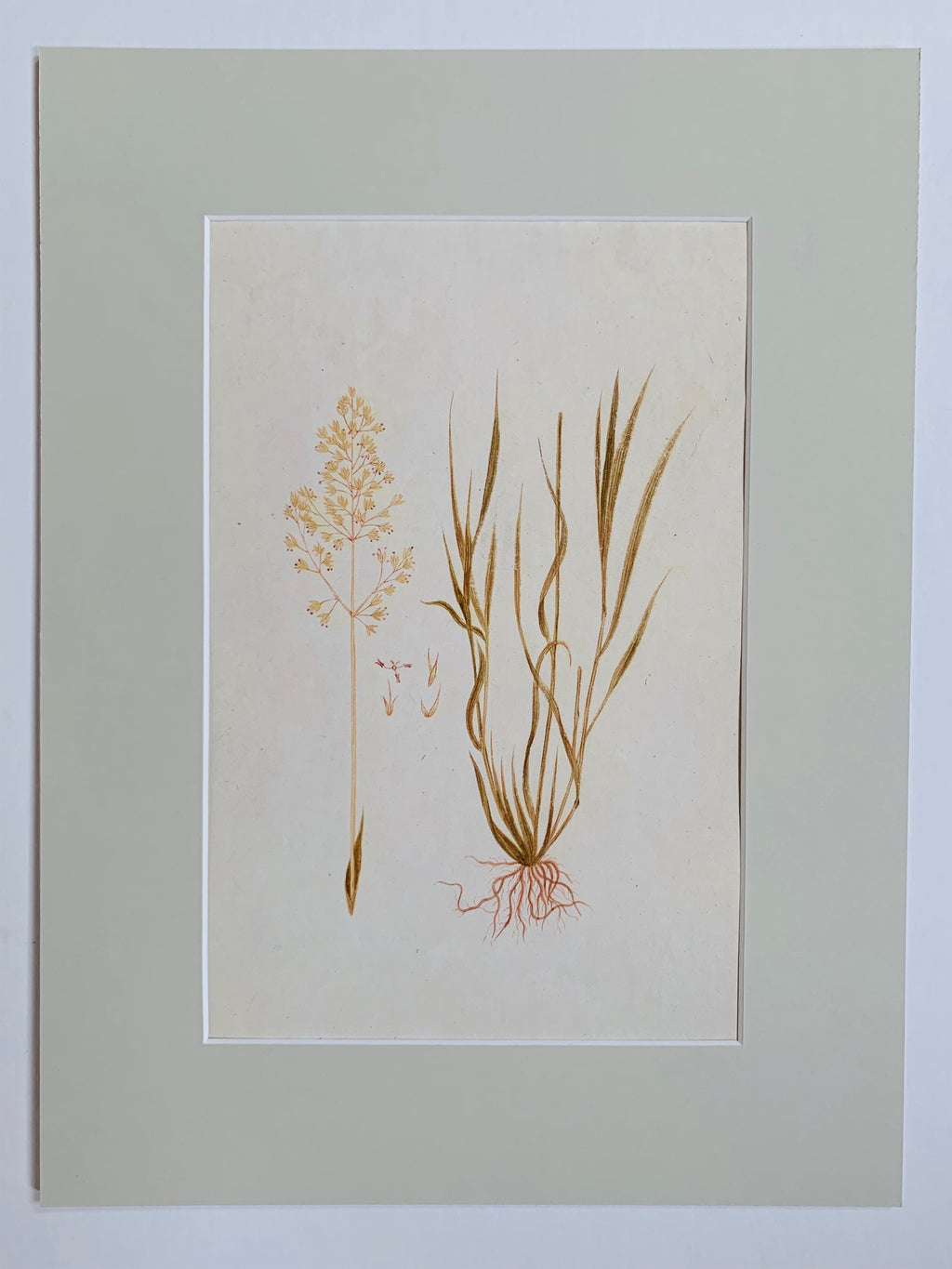 Common bent botanical study - L'Atelier Natalia Willmott