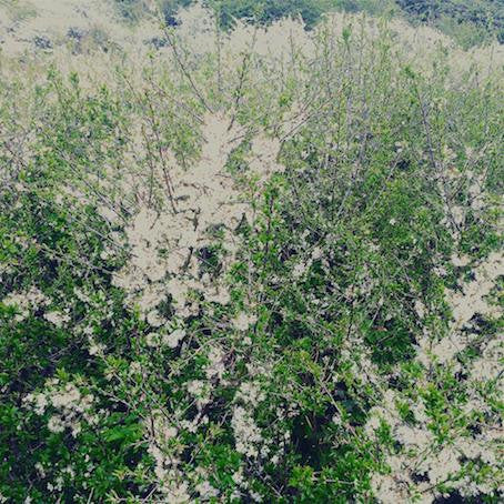 13 - White bushes