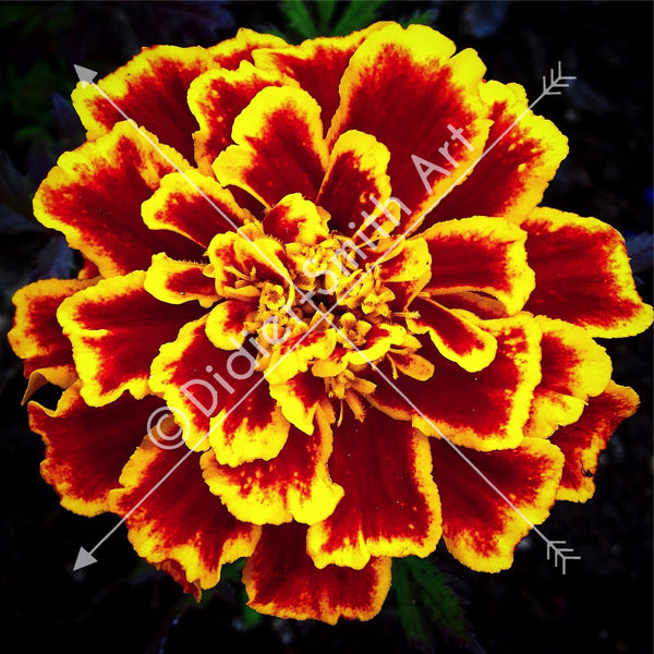 C1110 Vibrant Red and Yellow Flower - Didier-Smith Art