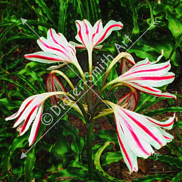 C1119 White flowers red stripes - Didier-Smith Art