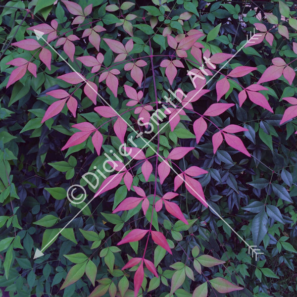 C1120 Pink Leaves - Didier-Smith Art
