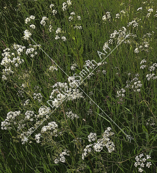 C1213 White flowers in the grass - Didier-Smith Art