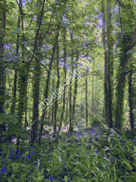 C179 Bluebell wood