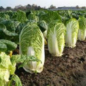 CABBAGE, Chinese Michihili - 99¢ Cent Heirloom Seeds: Heirloom,Bulk