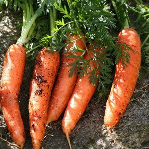 CARROT, Danvers Half-Long - 99¢ Cent Heirloom Seeds: Heirloom,Bulk