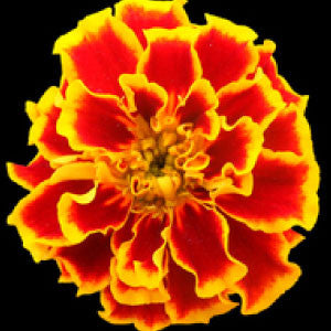MARIGOLD, Sparky Mix - 99¢ Cent Heirloom Seeds: Flower