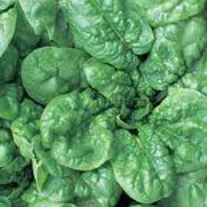 SPINACH, Bloomsdale (Long Standing) - 99¢ Cent Heirloom Seeds: Heirloom,Bulk