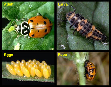 ladybirds at all stages
