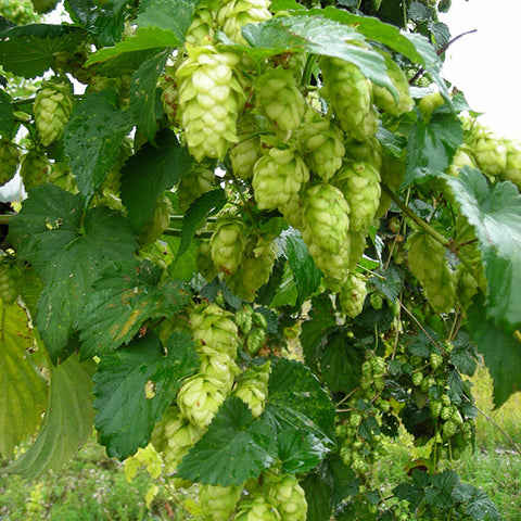 Golding Hops Rhizomes