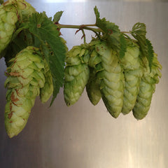 Willamette Hops Rhizomes