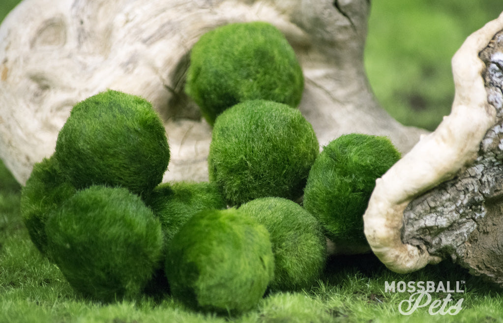 Unmasking The Mysteries of Moss Ball Pets