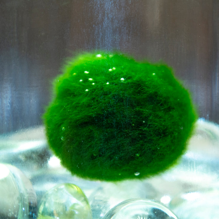 Alchemist Terrarium Starter Kit with Junior Moss Ball Pet