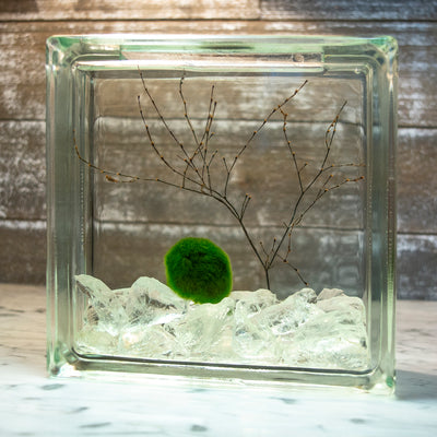 Sea Fan Coral Branch Living Moss Ball and Two Shells DIY 4 Globe Aquarium Marimo Kit- Apatite Gravels