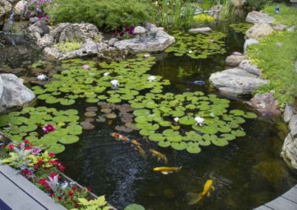 Koi Pond With Lily Pad's