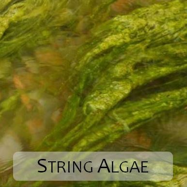 String Algae in Kio Pond