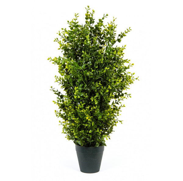 Boxwood Trees