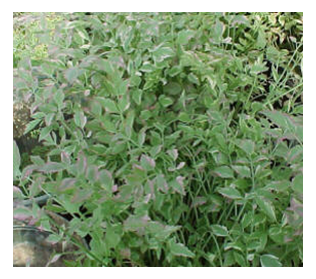 Photo of Hardy Marginal - Variegated Water Celery  - Marquis Gardens