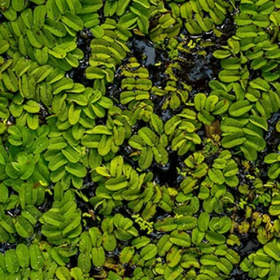 Floating Salvinia Tropical