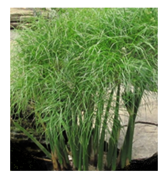 Photo of Tropical Papyrus - Little Giant  - Marquis Gardens