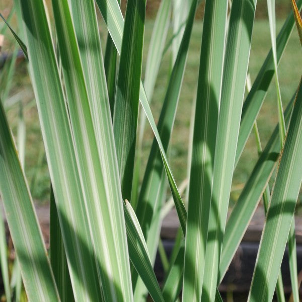 VARIEGATED CATTAIL HARDY