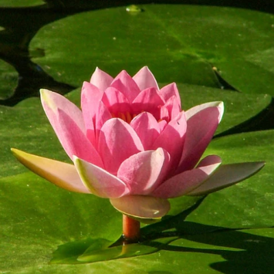 Large Water Lily (Hardy) - colour options